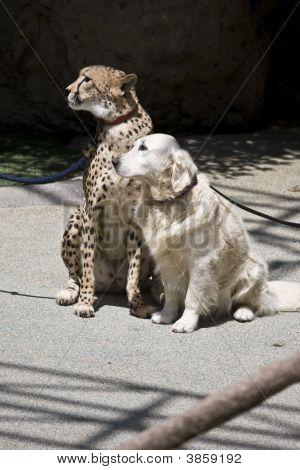 Cheetah & Dog Companion