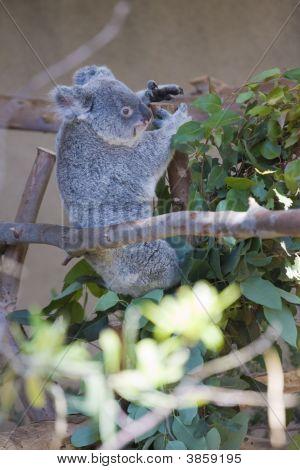 Koala Bear -