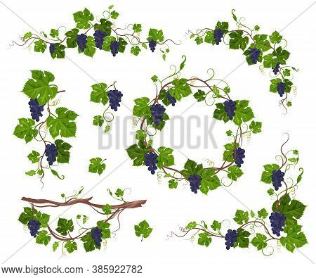 Grapevine Climbing Plant With Purple Grapes Set, Flat Vector Isolated Illustration. Grape Vine Creep