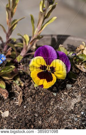 Yellow And Violet Flower In The Garden