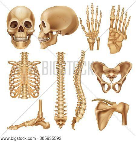 Human Bones. Realistic Skeleton Elements For Anatomy Illustration And Medical Infographic, Human Sku