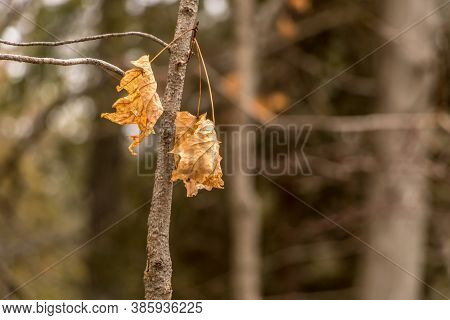 Maple Leaves Surviving The Winter In Crawford Lake, Ontario