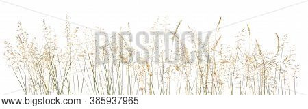 Abstract Dry Grass Flowers, Herbs Isolated On White Background. Common Bent Grass Spikelet Flowers W