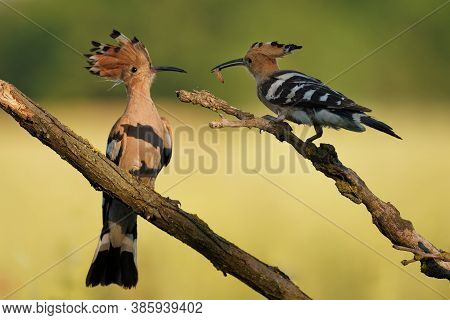 Eurasian Hoopoe (upupa Epops) Feeding It's Chicks Captured In Flight. Wide Wings, Typical Crest And