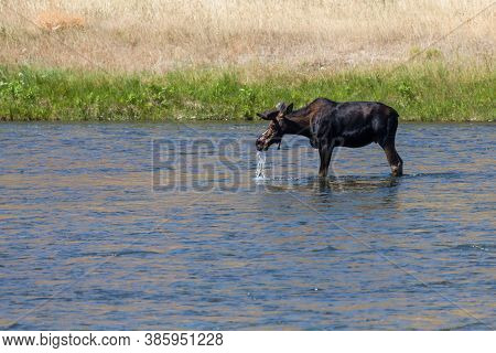 A Bull Moose With Antlers Still In Velvet Pulling Its Head Out Of The Shallow Water Of The Madison R