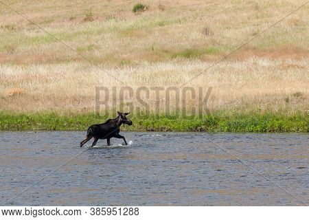 A Bull Moose With Antlers Still In Velvet Is Walking Out Of The Shallow Water Of The Madison River I