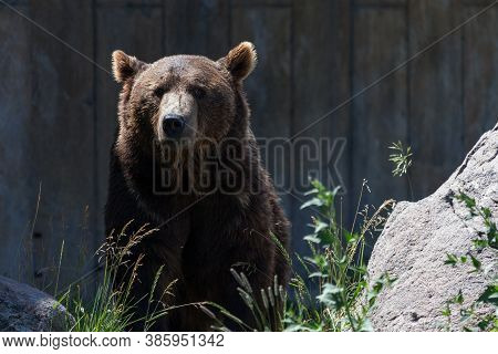 An Adult Grizzly Bear Sitting Next To A Large Boulder And Looking Straight Ahead At Its Sanctuary In