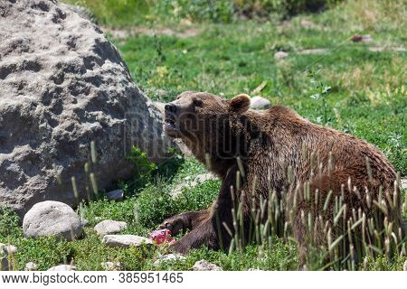 A Large Brown Grizzly Bear Crunching An Ice Treat With Its Teeth To Cool Off On A Hot Summer Day At