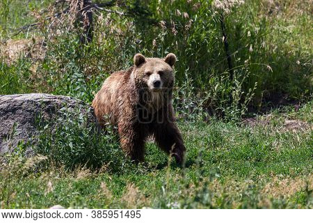 An Older Grizzly Bear Walks Across Green Grass And Weeds At Its Sanctuary On A Hot Summer Day In Mon