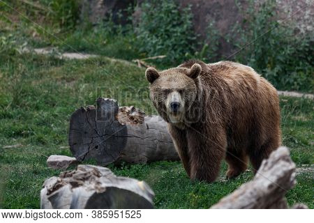 An Older Grizzly Bear Standing Next To Some Logs And Looking Forward On A Hot Summer Day In Montana.