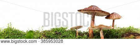 Panorama of several brown mushrooms on wet and humid green mossy log. Isolated on white.