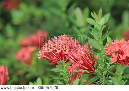Rubiaceae Flower. Ixora Coccinea Flower In Garden.