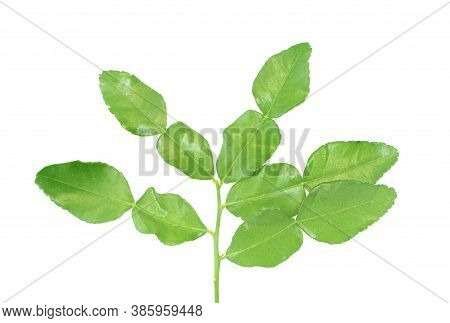 Kaffir Lime Leaves An Isolated On White Background