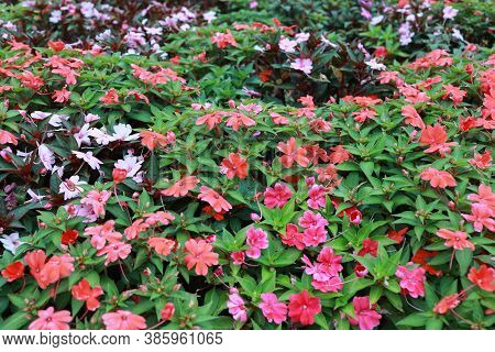 The Impatiens Walleriana Flowers With Green Leaf.