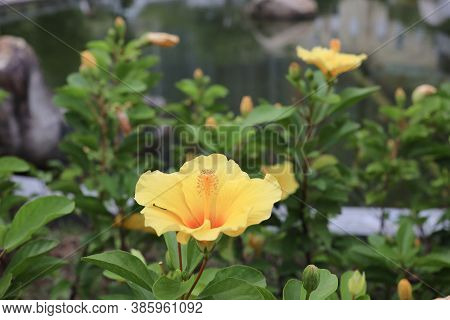 Big Flower Of Hibiscus And The Green Leaves At The Nature
