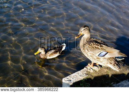 Two Wild Ducks Near A Reservoir In Their Natural Habitat. Waterfowl.