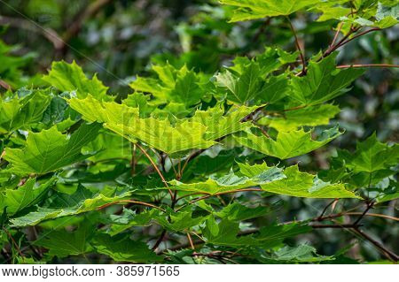 Dense Green Foliage. Maple Leaves In The Backlight. Leaf Texture.