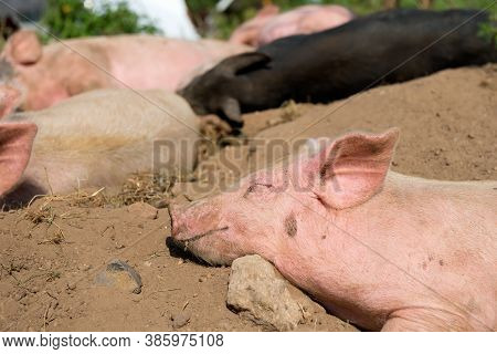 Piglets On A Summer Day At The Farm Are Sleeping
