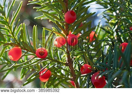 Beautiful Sprigs Of Yew With A Lot Of  Bright Red Berries And Long Narrow Leaves  In The Ray On Blur
