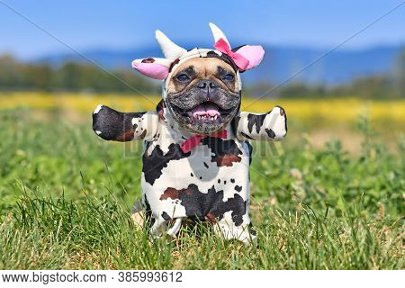 Happy French Bulldog Dog Wearing A Funny Full Body Halloween Cow Costume With Fake Arms, Horns, Ears