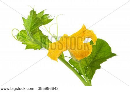 Flowers And Leaves Of Pumpkin On A White Isolated Background. Backlight. Agricultural Products. Copy