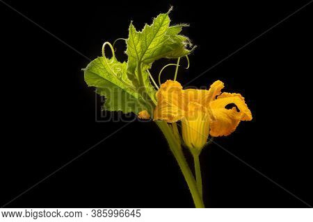 Flowers And Leaves Of Pumpkin On A Black Isolated Background. Backlight. Agricultural Products. Copy