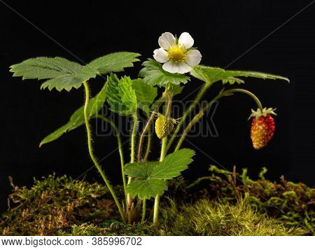 Strawberry Bush With Flowers And Berries On A Black Isolated Background. Backlight. Agricultural Cro