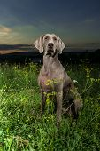Weimaraner dog standing in a field of wild grass outdoors with the setting sun behind it poster