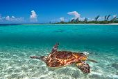 Green turtle in Caribbean Sea scenery of Mexico poster