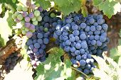 Grapes of different colors ripening in the sun poster
