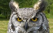 Close-up of an eagle-owl with piercing eyes poster