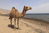 Camel on the shore of the Red Sea poster