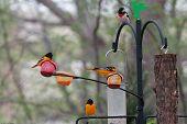 Balimore Orioles and Rose-breasted Grosebeak at backyard feeder during spring migration poster