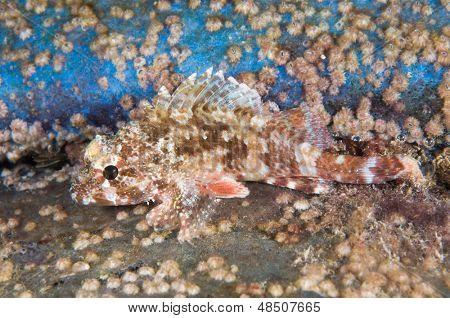 Camouflaged scorpionfish, Scorpaena porcus