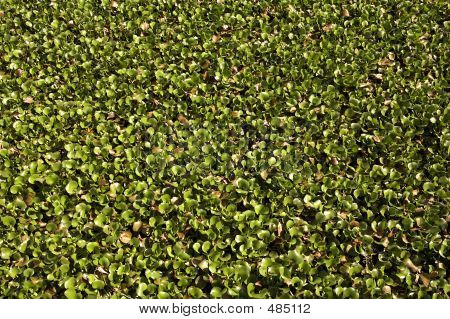 carpet of water hyacinth growing at kirby storter roadside park big cypress national preserve, florida, united states, usa, taken in march 2006, the first national preserve in the national park system poster