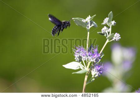 Flying Black Carpenter Bee - (xylocopa Violacea