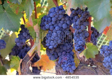 Blue Syrah Grapes