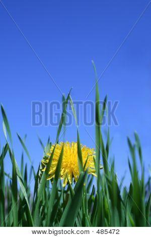 Hidden Dandelion