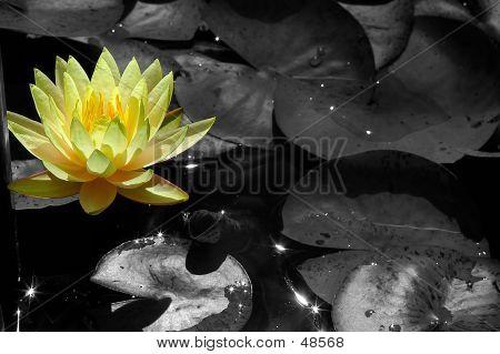 Lotus Desat - 1