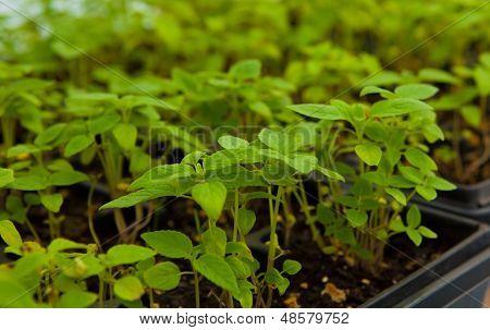 Chia Plant Seedlings