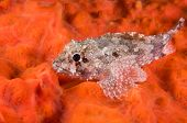 Scorpionfish, Scorpaena porcus, over red encrusting sponge    poster
