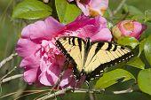 azalea flower with butterfly poster