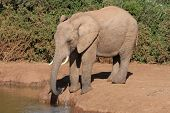 African elephant drinking water at a dam in the bush poster