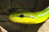 Red Tailed Racer (Gonyosoma oxycephala) - detail of head poster