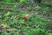 Cute red squirrel eats a nut in the grass poster
