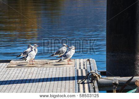 Black headed-gull