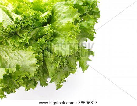 Fresh Lettuce isolated on white background   close-up