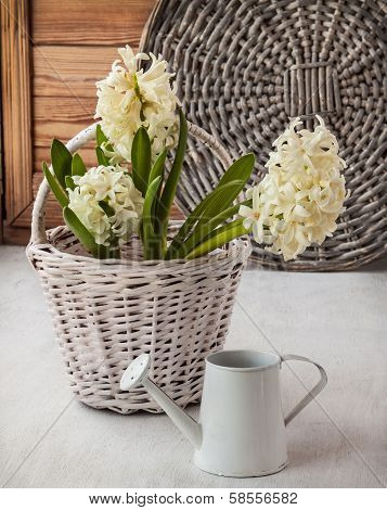 White Hyacinths In A  And  Watering Can On A Window Sill