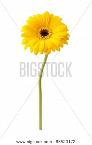 African Daisy Isolated On White