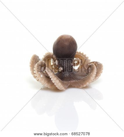 Little Baby Octopus Isolated On White Background